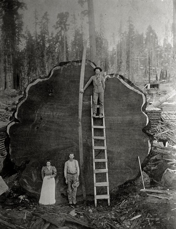 Loggers in California with the giant 'Mark Twain redwood', 1892
