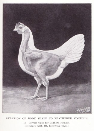 This illustration, dated 1922, shows what one type of chicken looks like under all those feathers.